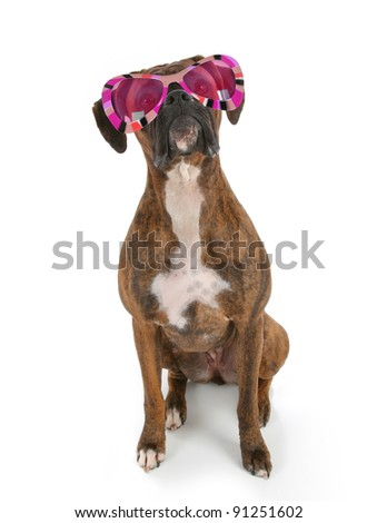 Boxer Dog wearing Funky Flashy Striped Sunglasses