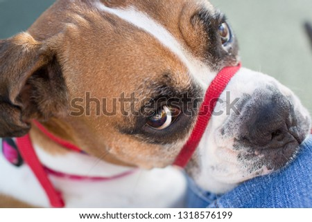 boxer dog wearing gentle leader around snout looks up to its owner