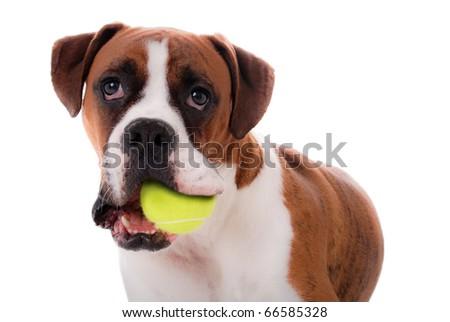 Boxer Dog with Ball