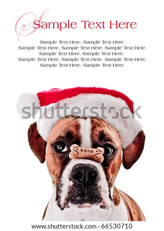 Boxer Dog with Bone on it's Nose Wearing Santa Hat and Space for Text Above