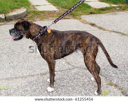 boxer dog with long tail