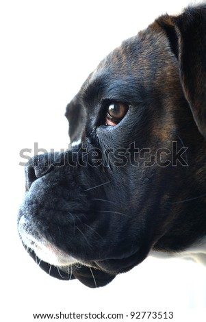 Boxer dog with tearful eye
