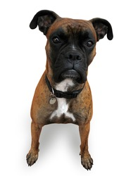 Boxer, isolated, with clipping path