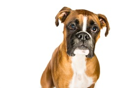Boxer on a white background