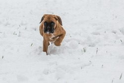 Boxer pup in the snow