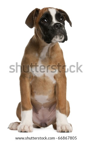 Boxer puppy, 3 months old, sitting in front of white background