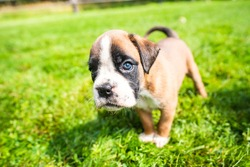 Boxer puppy on the green grass