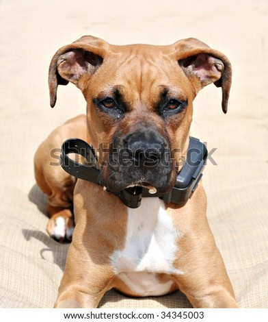 Boxer puppy with electrical collar