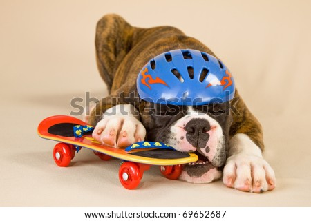 Boxer puppy with toy skateboard and helmet