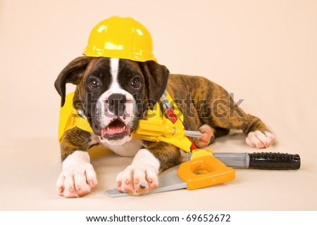 Boxer puppy with yellow hard hat and toy tools
