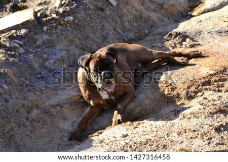 Boxer purebred dog lying on some rocks #1427316458
