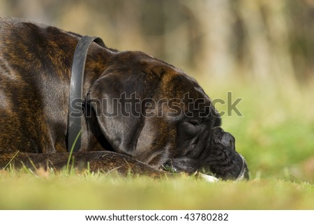 Boxer resting in the grass