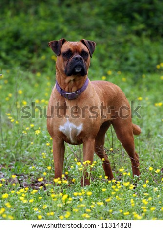 Boxer standing out in a field of yellow flowers.