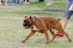 Boxer with docked tail. The dog in front also has cropped ears. Big brown dog walks on leash. Selective focus, motion blurred, defocus, noise.