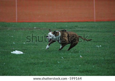 Boxer(with tail) chasing lure in a lure course.