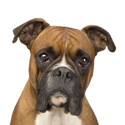 Boxer (2 years) in front of a white background
