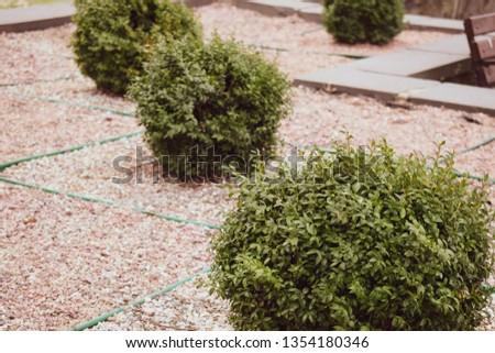 Boxwood boxwood. A bush of evergreen boxwood. Green bushes. #1354180346