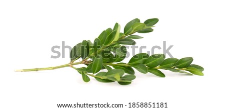 Boxwood branch isolated on white background. Green boxwood sprig. Buxus with clipping path. Stock photo ©
