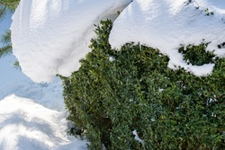 Boxwood Buxus sempervirens are boxwood bushes or European box with bright shiny foliage under snow. Close-up. Evergreen winter garden. Perfect backdrop for any natural theme. Place for your text.