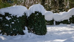 Boxwood Buxus sempervirens are boxwood bushes or European box with bright shiny foliage under the snow. Evergreen landscaped winter garden. Perfect backdrop for any natural theme. Place for your text.