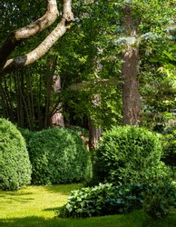 Boxwood Buxus sempervirens in evergreen landscaped garden. Trimmed boxwood Buxus sempervirens shrubs against background of evergreens. Atmosphere of relaxing holiday of happiness and love.