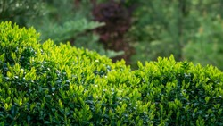 Boxwood Buxus sempervirens or European box with bright shiny young green foliage on blurred green background. Close-up, selective focus. Perfect backdrop for any natural theme. Place for your text.