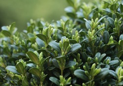 Boxwood. Buxus sempervirens with green background.