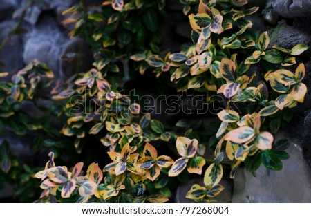 boxwood, green, yellow, pink shallow leaves #797268004