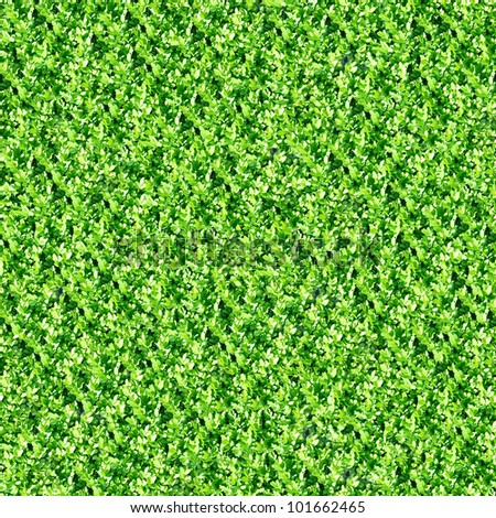 Boxwood hedge seamless background (Buxus sempervirens)