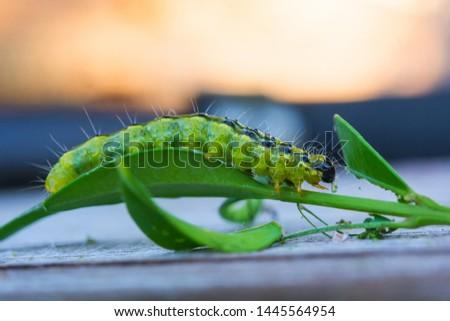 boxwood moth feeds on boxwood leaves. The boxwood caterpillar destroys many plants #1445564954