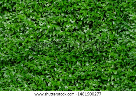 Boxwood seamless background pattern. Natural photo green texture of boxwood Buxus sempervirens  #1481500277