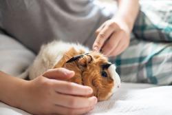 boy combs a guinea pig. Wool care pets. Long-necked rodent