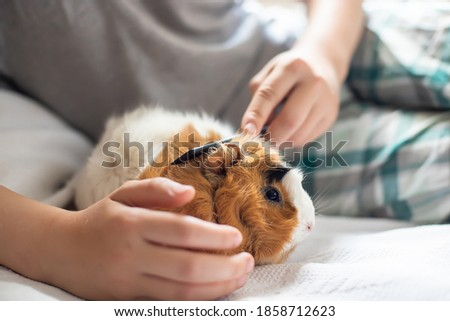 boy combs a guinea pig. Wool care pets. Long-necked rodent Сток-фото ©