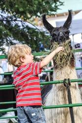 Boy feeding a llama