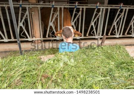 boy feeds cow with fresh cut grass