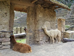 Boy hiding from the Lamas, Ollantaytambo, Peru