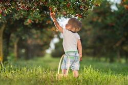 Boy picking cherry on a fruit farm.
