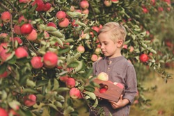 Boy worker in the apple orchard. Child picking fresh ripe apples in autumn, fruit garden. Harvest time on a farm.