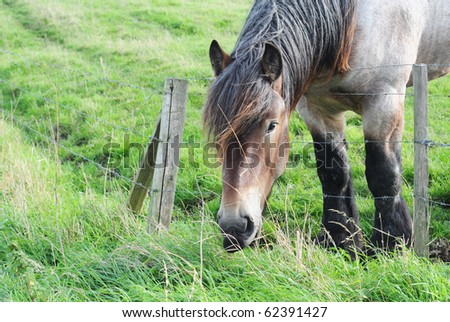 Brabant draft horse grazing in a meadow