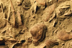 Brachiopod Fossils closeup