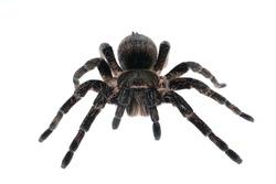 Brachypelma albopilosum, bird-eater spider isolated on white