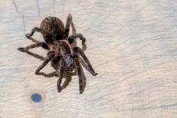 brachypelma albopilosum spider sitting on brown wood slice. Pet, background, close up, top view