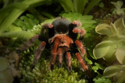 Brachypelma boehmei Tarantula, also known as the Mexican fireleg, or redleg.