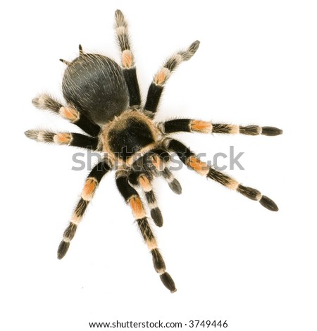 Brachypelma smithi in front of a white backgroung #3749446