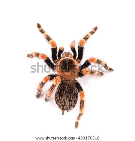 Brachypelma smithi, large spider tarantula on white.