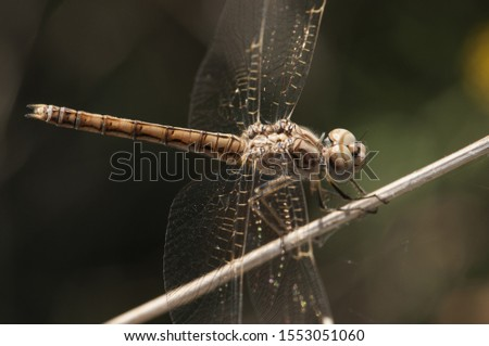 Brachythemis impartita banded groundling female perched and resting on a reed stalking her next prey natural light Imagine de stoc ©