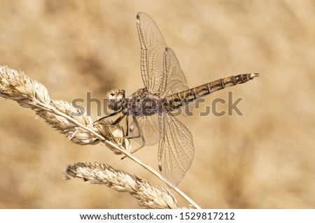 Brachythemis impartita female the Northern banded groundling dragonfly that flies in midsummer when temperatures are highest natural light Imagine de stoc ©
