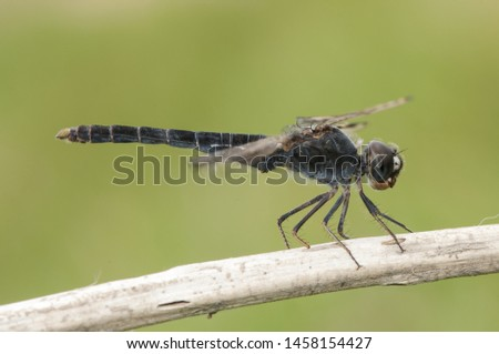 Brachythemis impartita northern banded groundling species of dragonfly that lives in marshes and areas of water flooded perched on a stick on green background defocused natural lighting Imagine de stoc ©