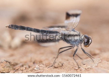 Brachythemis impartita the Northern banded groundling medium-sized male dragonfly with the typical black bands on the wings light by flash Imagine de stoc ©