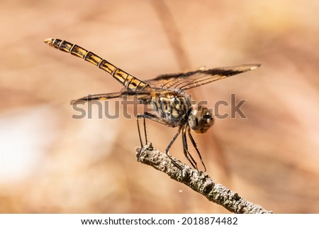 Brachythemis leucosticta or brachythemis impartita A brown striped dragonfly perched on top of a wooden pole Imagine de stoc ©